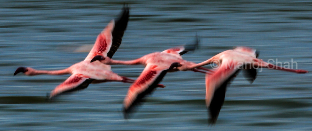 Lesser Flamingos in flight