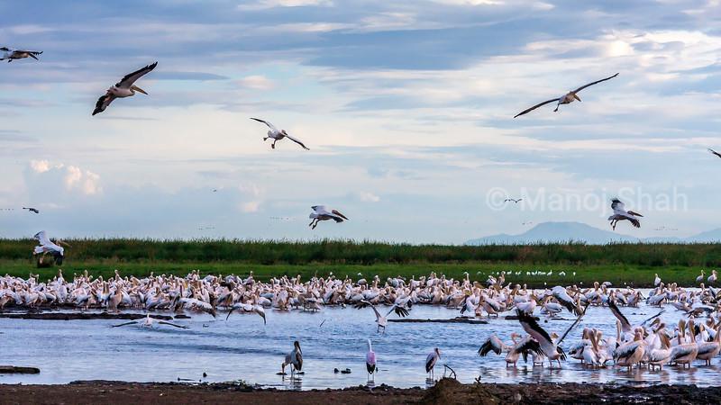 White Pelican colony at Lake Natron.