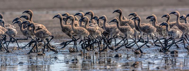 Flamingo chicks running away from a predator at Lake Natron, Tanzania
