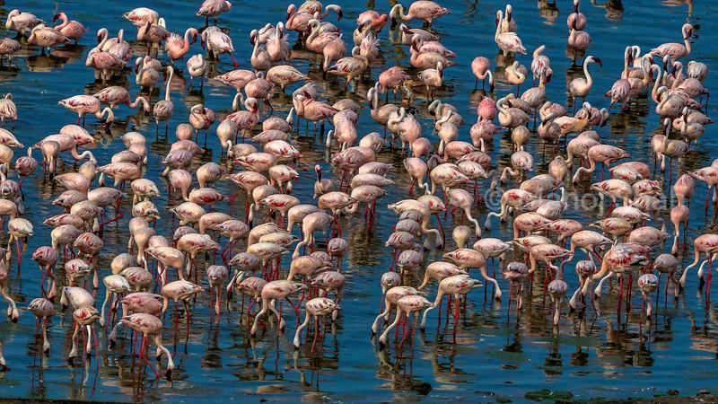 Aerial view of Lesser flamingos at lake Bogoria.