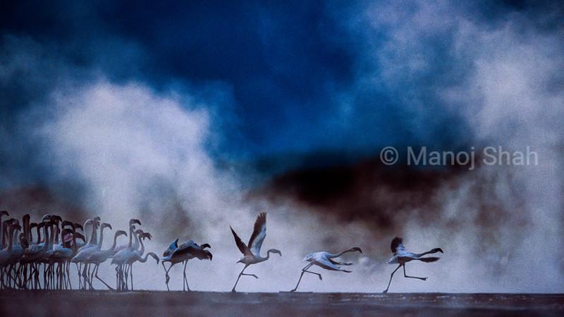 Flamigos walking at hot springs, Lake Bogoria, Kenya
