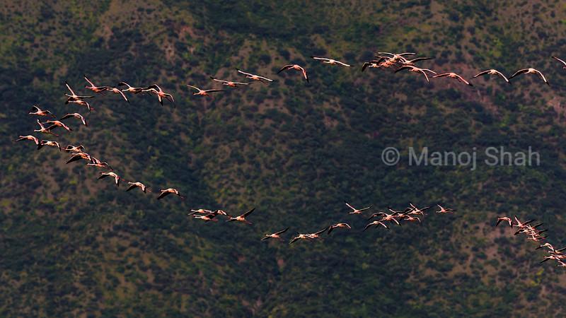 Lesser flamingos flying over Lake Bogoria.