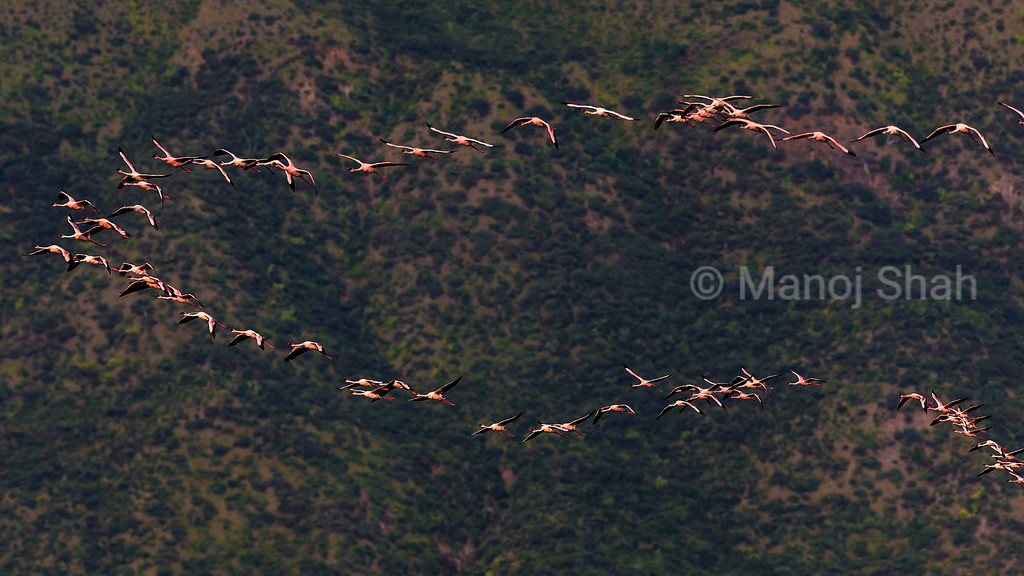 Lesser flamingos flying over Lake Bogoria.