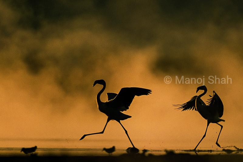 Greater flamingos running early morning at Lake Nakuru, Kenya