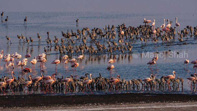 Flamingos with chicks feeding at the alkaline water of  Lake Natron, Tanzania.