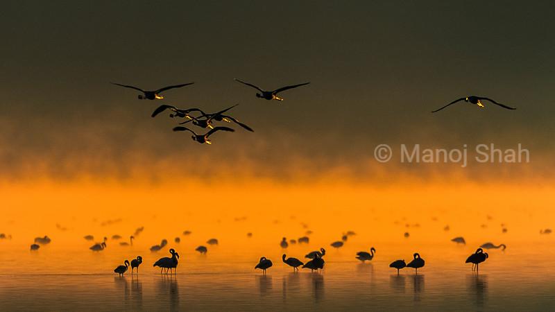 Lesser flamingos feeding at lake Nakuru shore, Kenya
