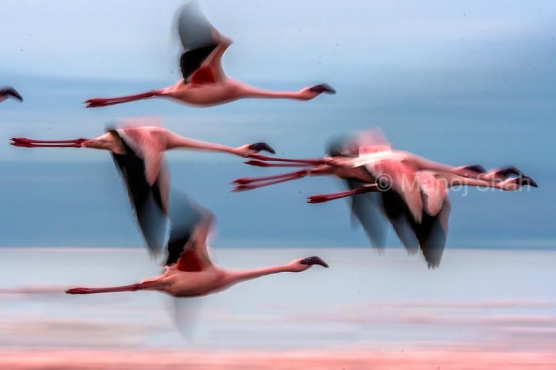 Flamingos in flight over Lake Bogoria, kenya
