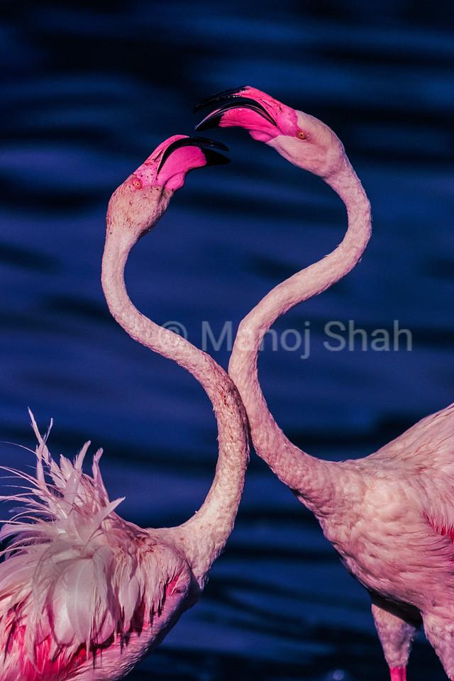 Greater flamingos touching beaks at Lake Nakuru, Kenya