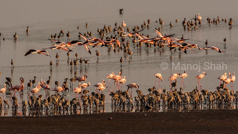 Flamingos with new born chicks at Lake Natron, Tanzania