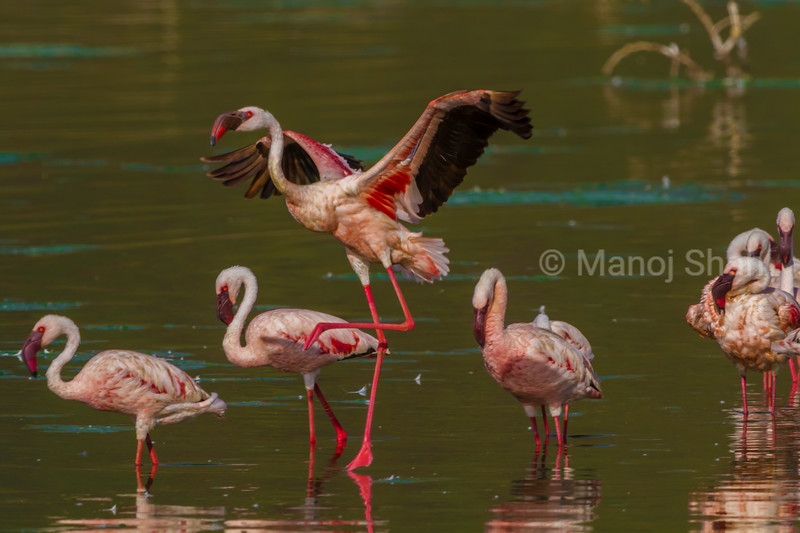 Greater flamingo displaying wings in midst of a group of lesser flamingos in Lake Bogoria.
