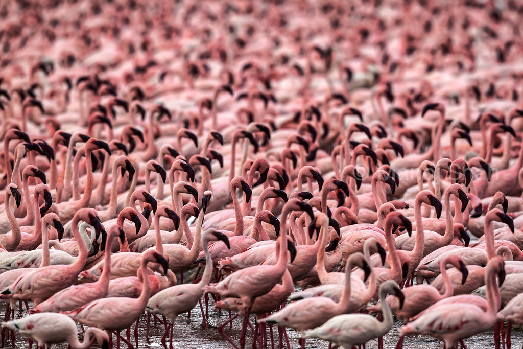 Lesser Flamingos in masse