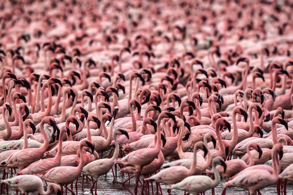 Lesser Flamingos in masse