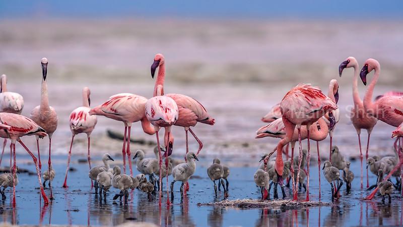 Flamingos with chicks at Lake Natron, Tanzania.