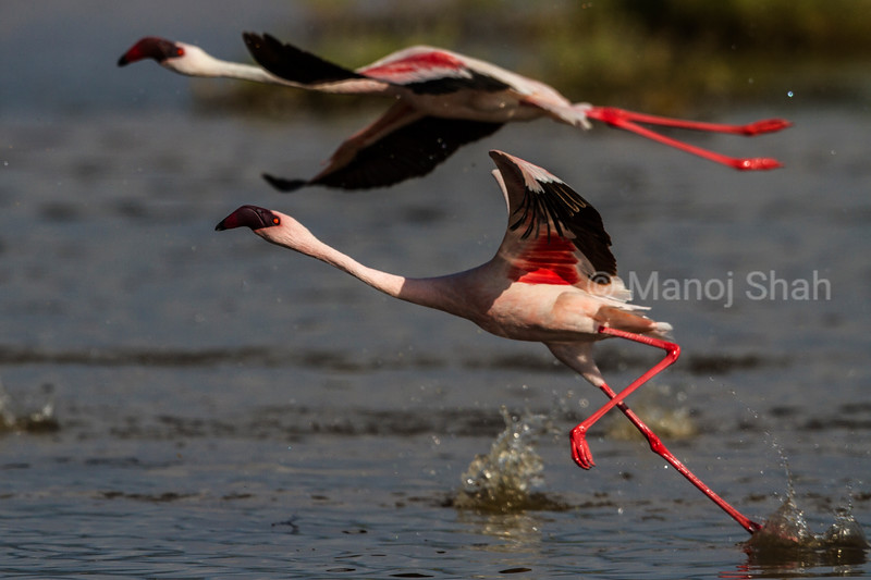 Greater flamingos taking off
