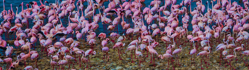 Lesser and Greater flamingos at Lake bogoria shore