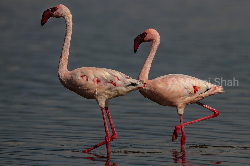 Lesser Flamingos walking.