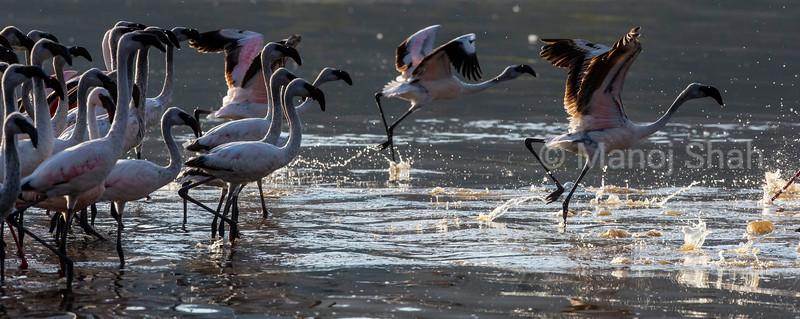Lesser Flamingos running for speed for flight
