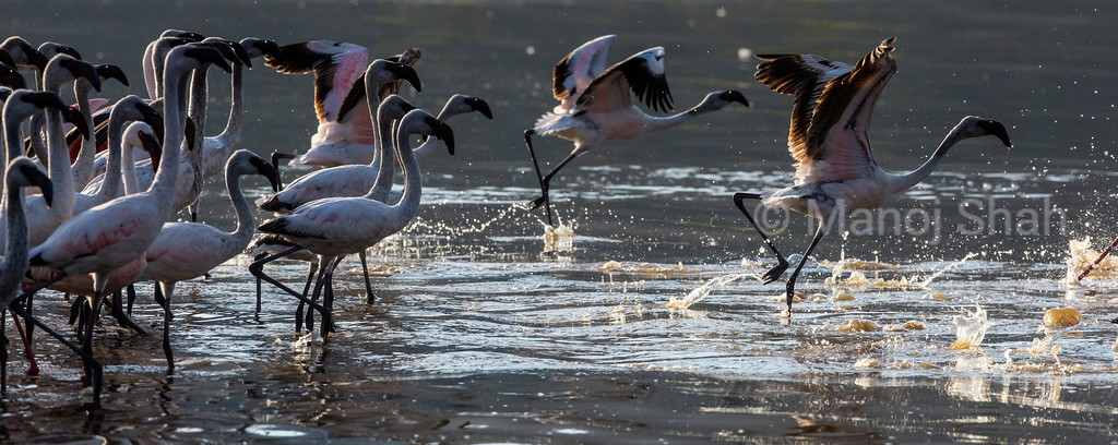 Lesser Flamingos running for speed for flight