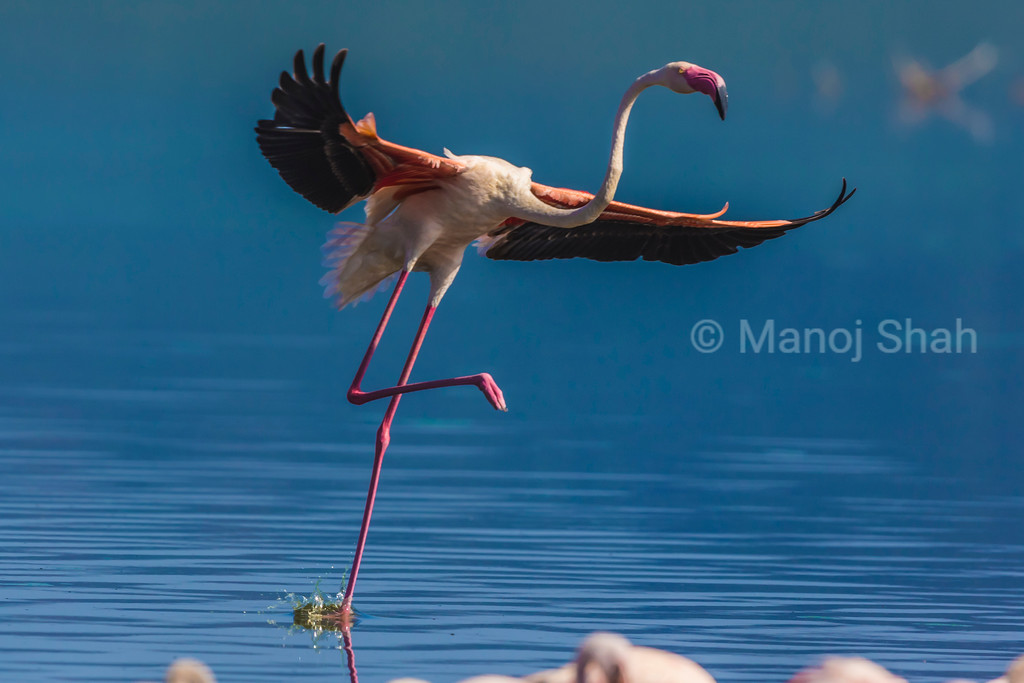 Flamingo 'dancing' while moving on the lake.