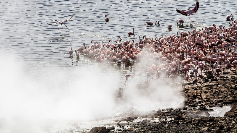 Lesser flamingos feeding by the hot springs at lake Bogoria.