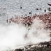 Lesser flamingos feeding by the hot springs at lake Bogoria.