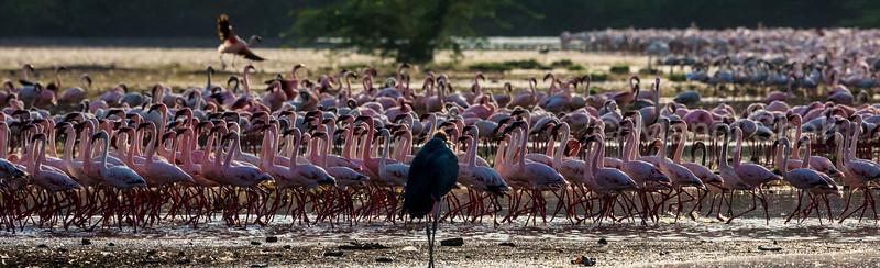 Marabu Stork watches Lesser flamingos