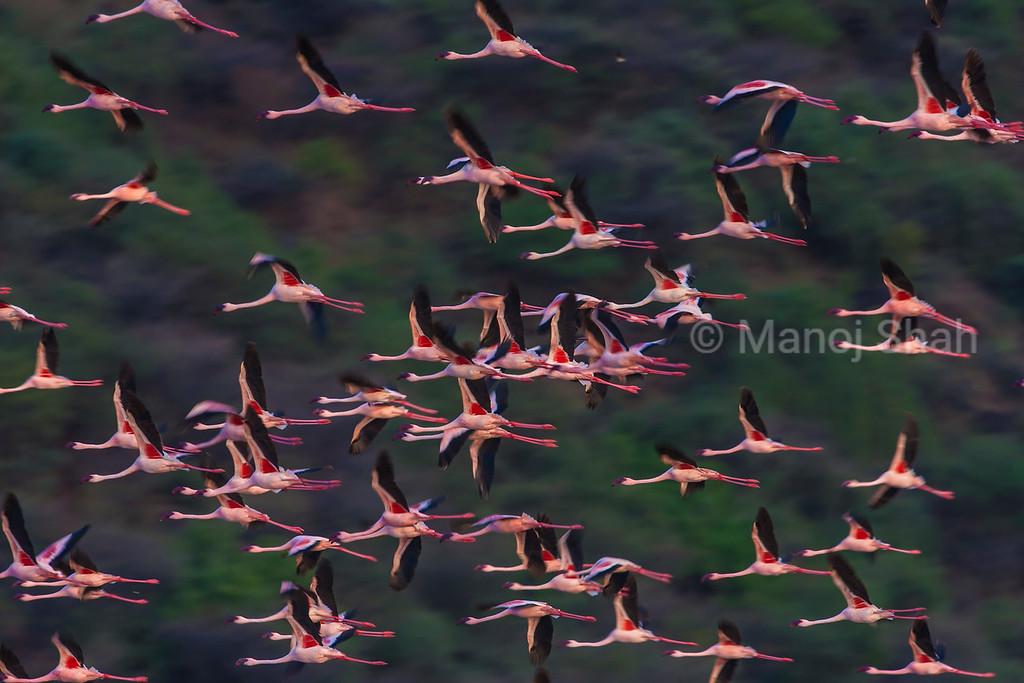 Lesser flamingos in flight over Lake Bogoria.