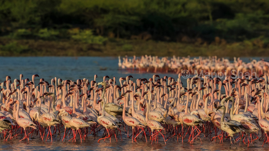 lesser flamingos in Lake Bogoria