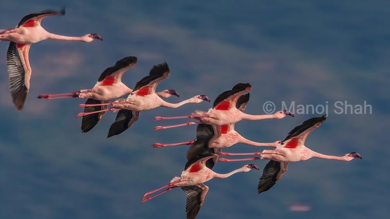 Lesser flamingos in a flight over lake Natron, Tanzania