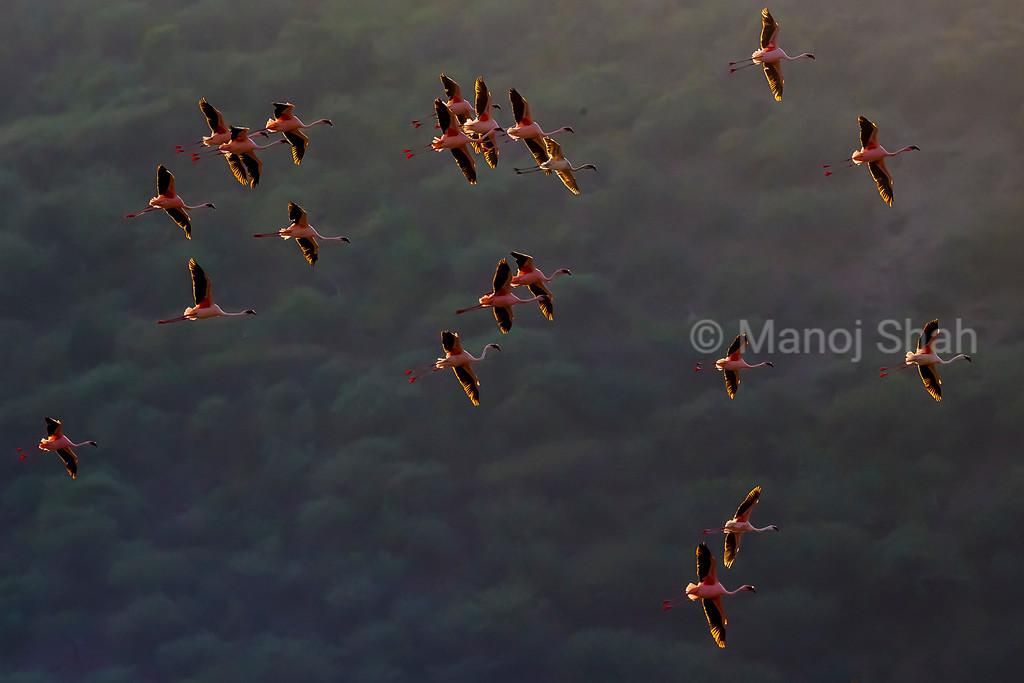 lesser flamingos flying over Lake Bogoria
