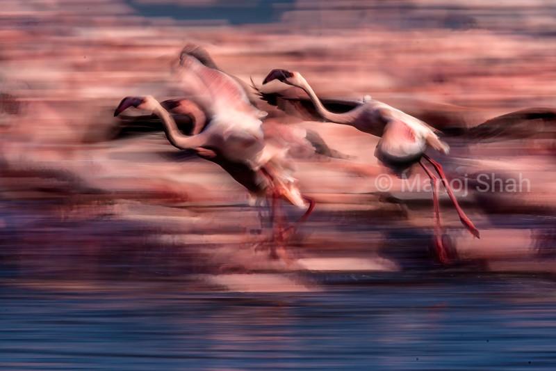 Flamimgos landing from a flight at Lake Natron, Tanzania