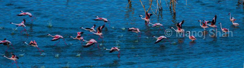 Lesser flamingos running to take off along Lake Bogoria shore.