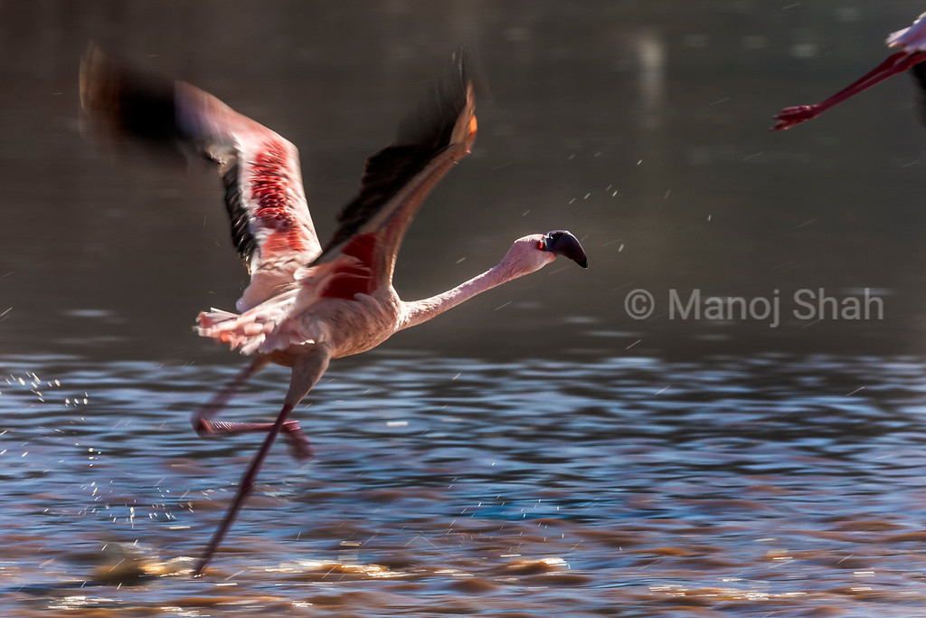 Flamingo running to catch speed for take off
