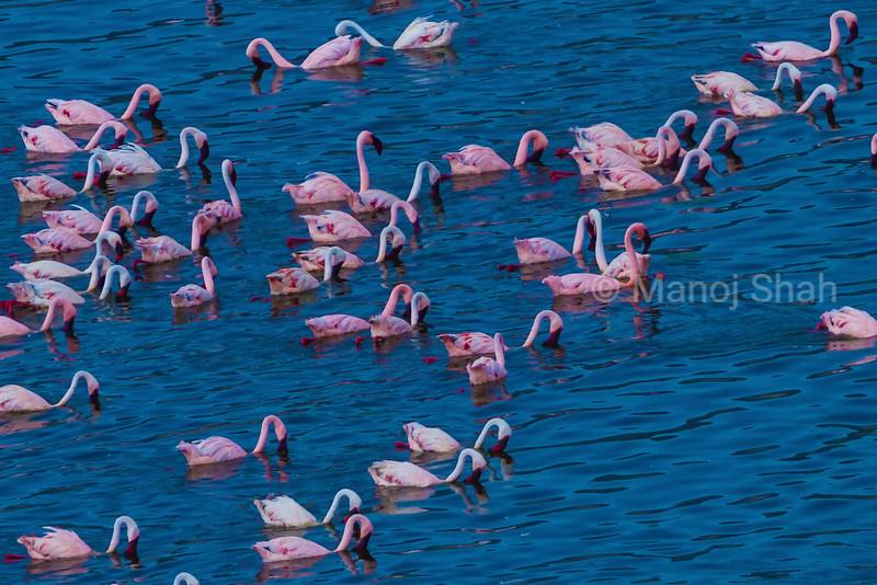 Lesser flamingoes feeding and swimming in Lake Bogoria.