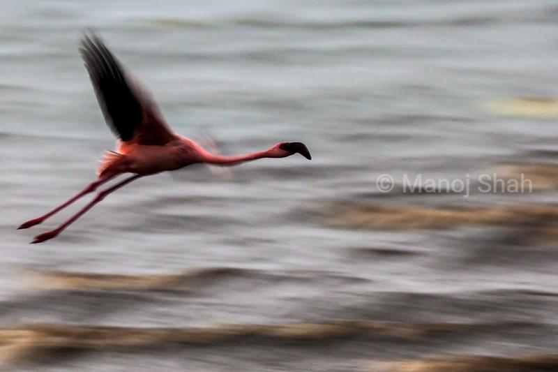 Lesser Flamingo in flight