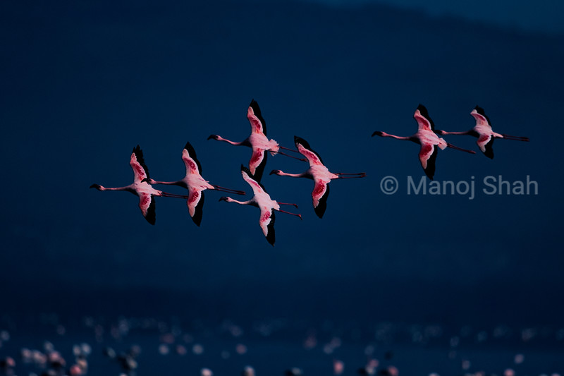 Lesser flamingos Flying over at lake Nakuru , Kenya