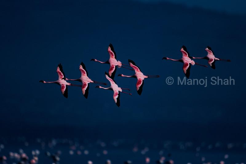 Lesser flamingos Flying over at lake Nakuru , Kenya