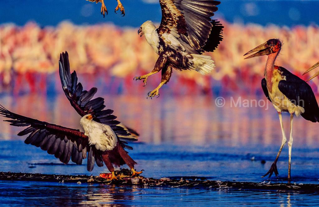 African Fish Eagle with a flamingo kill  being attacked by Tawny eagle with a Marabou stork watching at Lake Nakuru, Kenya