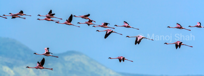 Lesser flamingos flying over Lake Natron.