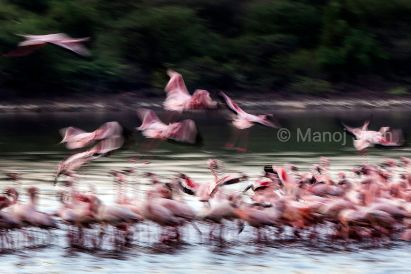 lesser flamingos at Lake Bogoria.