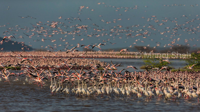 Lesser and greater flamingos flying over Lake Bogoria