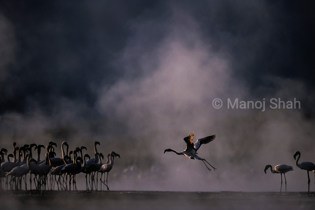 Greater flamingo flying to the flock at lake bogoria early morning