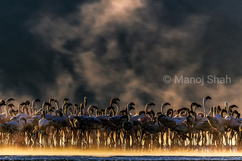 Lesser and Greater flamingos at hot springs early morning, Lake Bogoria, Kenya