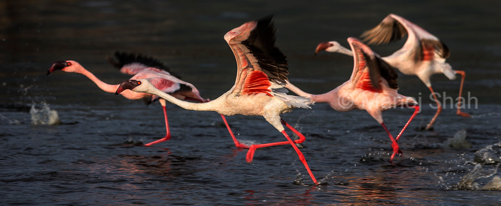 Flamingos taking off