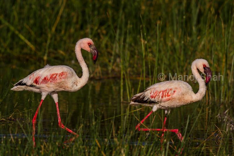 Lesser Flamingos on shore of Lake Elementaita