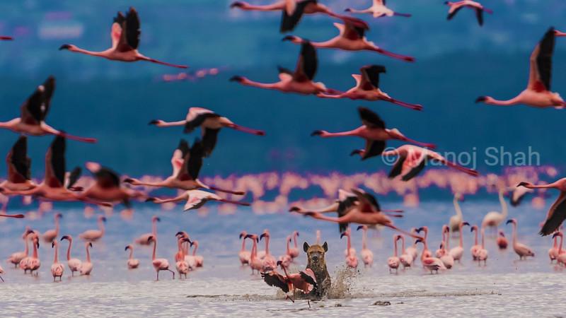 Hyena on a hunt attempt on flamingos at Lake Nakuru
