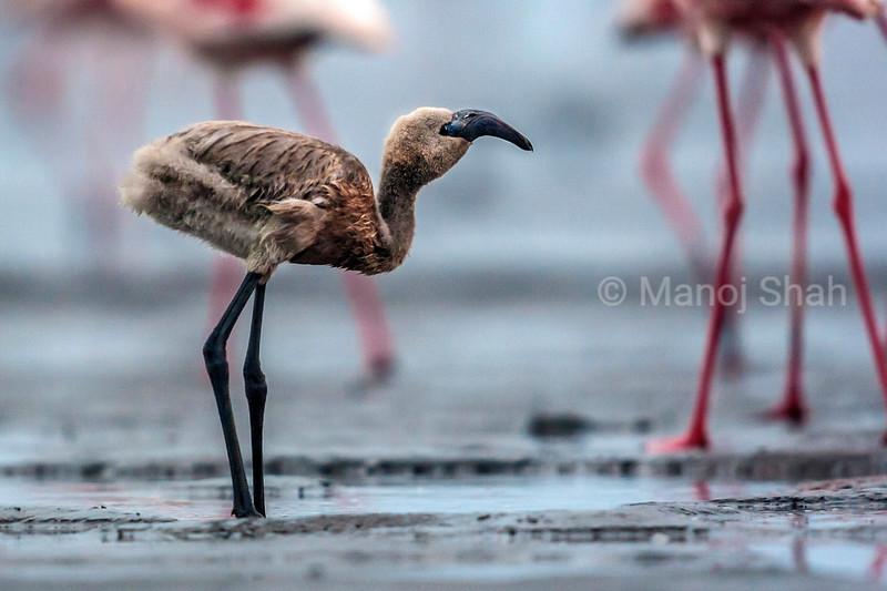 Flamingo chick wals along Lake Natron shore, Tanzania.