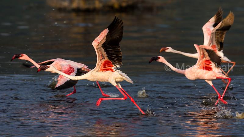 Greater flamingos running to take off in Lake Bogoria waters.