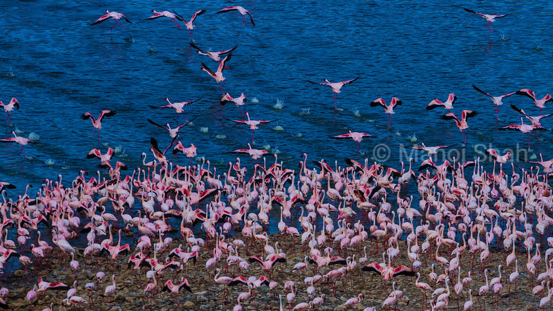 Lesser Flamingos taking off for a flight from Lake Bogoria shore.