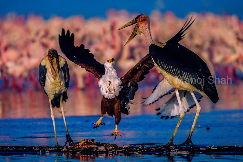 African Fish Eagle fighting with a Marabou stork over a flamingo kill
